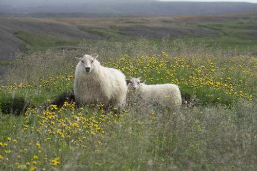 Sheeps on the round trip in Iceland